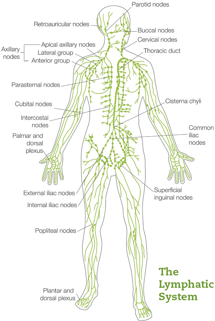 Diagram: The Lymphatic System